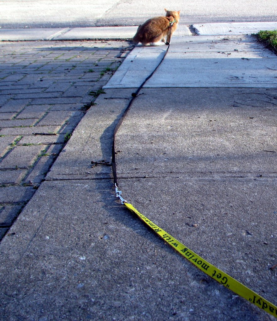 cat at the end of a leash